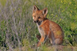 Red Fox Kit Sitting