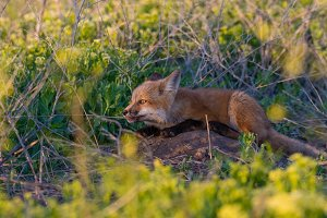 Red Fox Kit Biting on a Stick