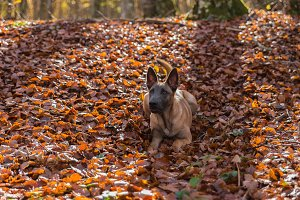 Belgian Malinois dog, in the leaves
