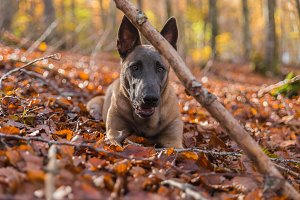Belgian Malinois dog, on the leaves