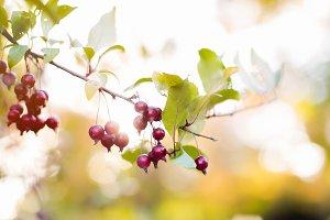 Berries on a tree limb