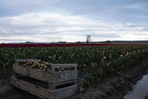 Tulips fields at Sunrise