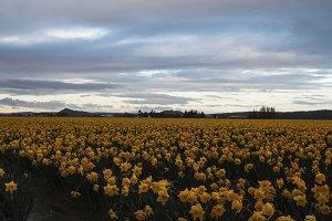 Daffodil Field at Sunrise 1