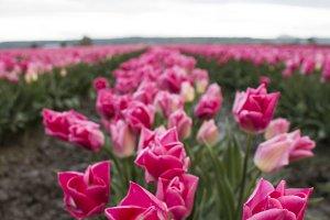 Pink Tulip Field at Sunrise
