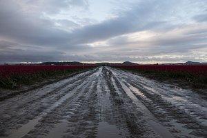 Road Through Tulip Fields at Sunrise
