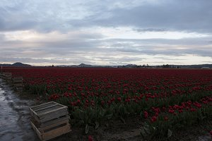 Flower Crate in Tulip Field