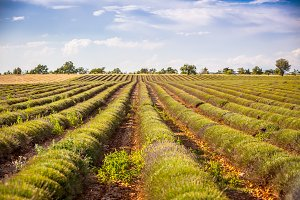 Harvested lavender field