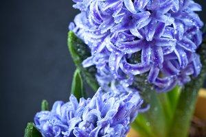 Fresh flowers hyacinths.