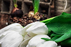 bulbs tulips