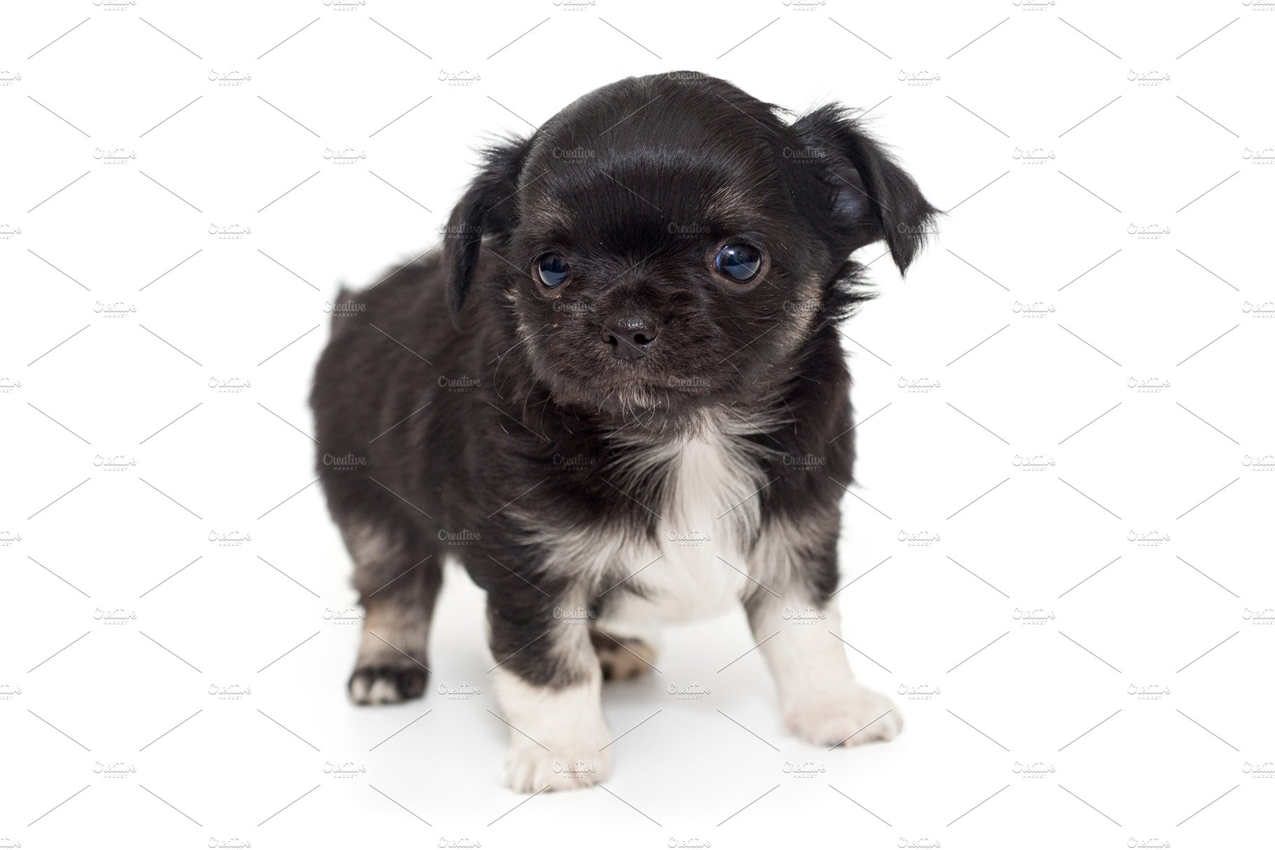 Small Black Chihuahua Puppy High Quality Stock Photos Creative Market