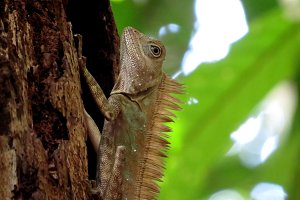 Borneo's Dragon!