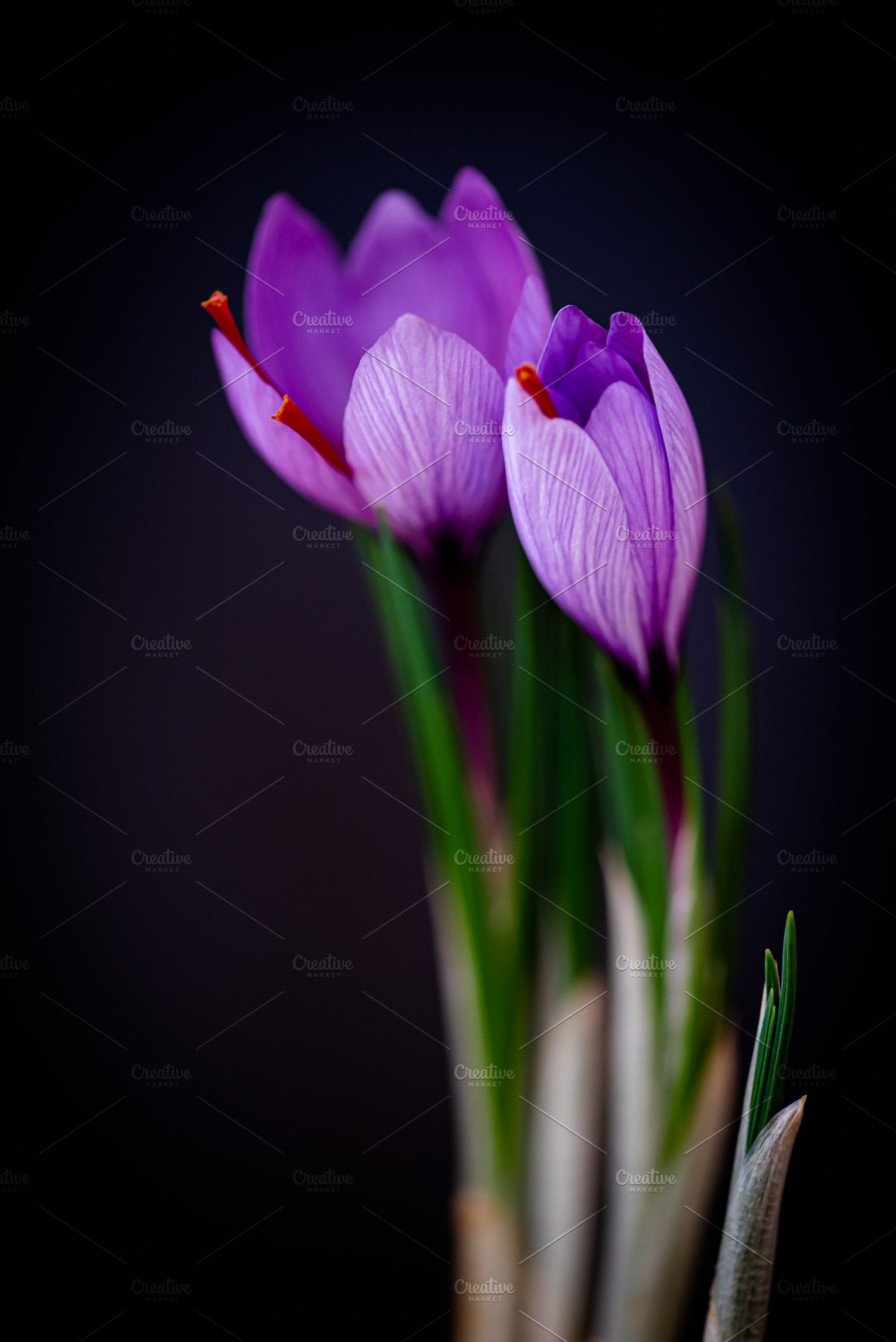 Saffron Flower Over Black Background High Quality Food Images