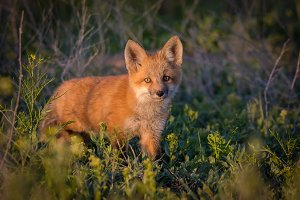Red Fox Kit Standing Attentively