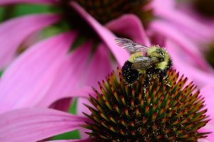 Pollen Covered Bee and Coneflower