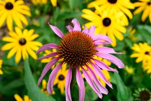Echinacea with Brown Eyed Susan