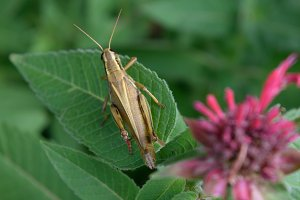 Closeup of Grasshopper on Bee Balm