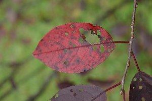 Wild Canada Plum Leaf