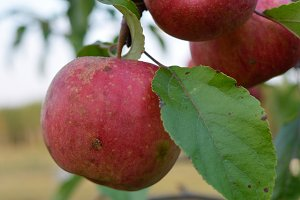 Ripe Organically Grown Apples