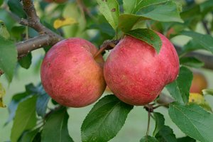 Ripe Chestnut Crab Apples