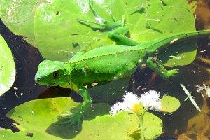 lizard on a lillypad