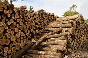 Sugar Maple on Log Landing