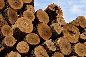 Sugar Maple Logs in Pile