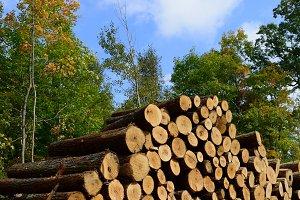 Basswood Sawlogs Cut in Fall