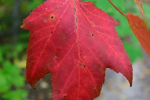 Red Maple Showing Fall Colors