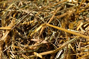 Closeup Detail of Oat Straw