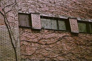 Creeper Wall Plant on Dark Brick