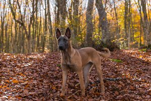 Belgian Malinois dog, autumn