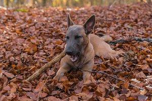 Belgian Malinois dog, autumn