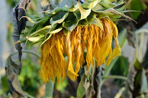 Wilted and Frosty Giant Sunflower