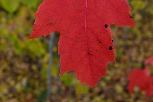 Single Red Maple Leaf in Fall