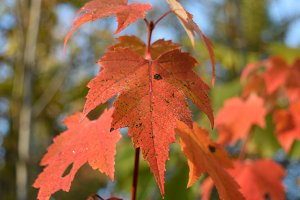 Red Maple Fall Color Leaf Detail