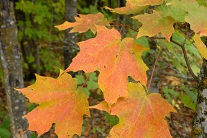 Sugar Maple with Colorful Fall Leave
