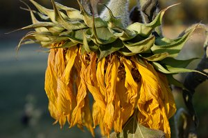 Wilted Giant Sunflower Head