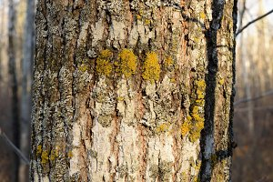 Bark Detail of Basswood Tree