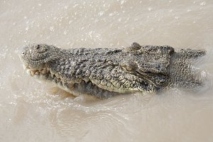photo of a crocodile