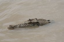crocodile hiding in the water
