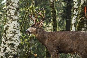 Buck in Forest II