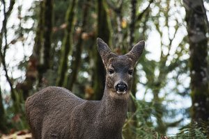 Doe in Forest I