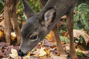 Deer in Leaves