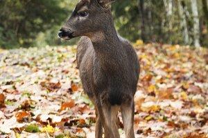 Deer in Leaf Covered Road