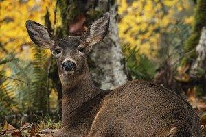 Deer Sitting in Leaves