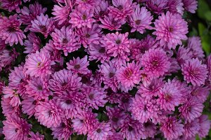 Dark pink chrysanthemum background