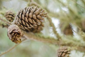 Pine cones and branches.