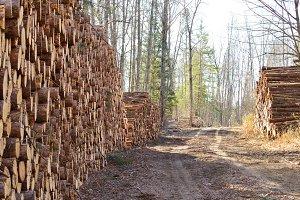 Pine Logs Piled Along Logging Road