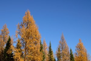 Golden Tamarack and Black Spruce