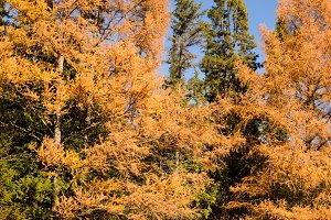 Eastern Larch Showing Fall Colors